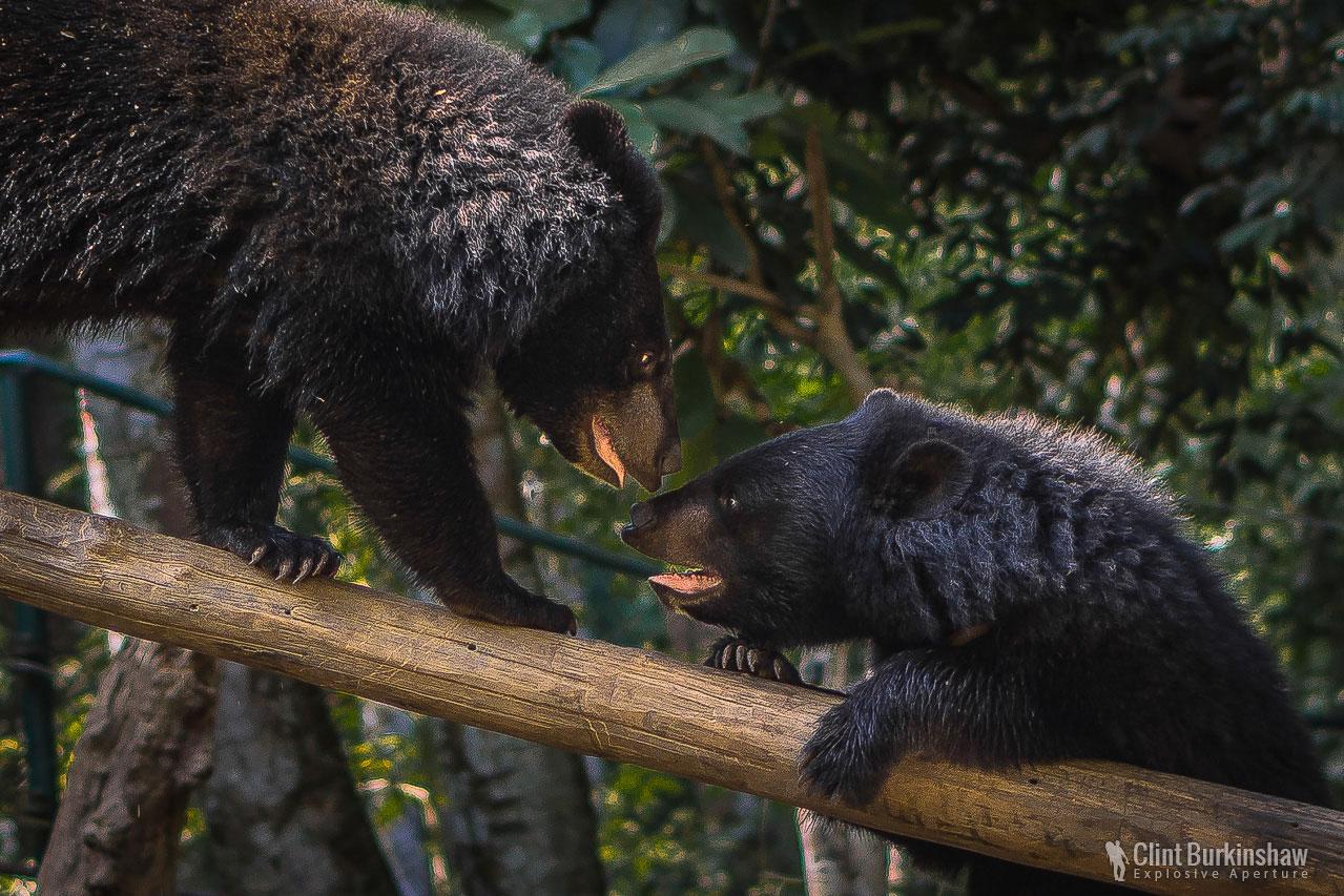 Moon bears playing