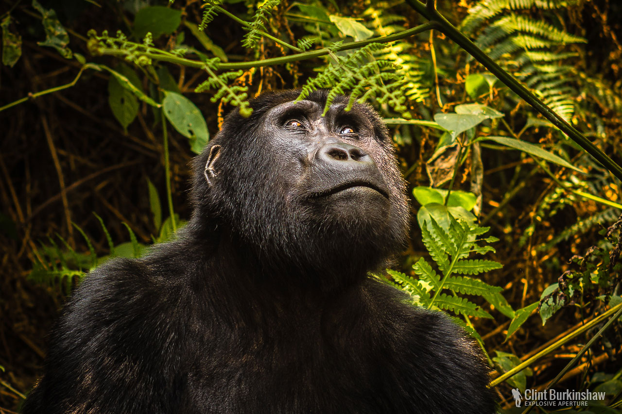 The amazing Mountain Gorilla
