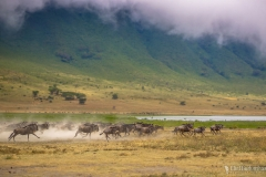 Wildebeests Stampeding, Ngorongoro Crater, Tanzania